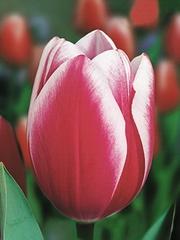Продам оптом тюльпаны к 8-марта