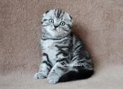 Шотландские котята. Ровно.