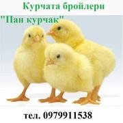 Курчата бройлери Пан курчак