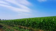 Продам домашнее вино ( полусладкое и сухое )
