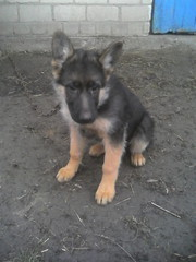 продам щенка немецкой овчарки 3, 5 месяца, хлопчик